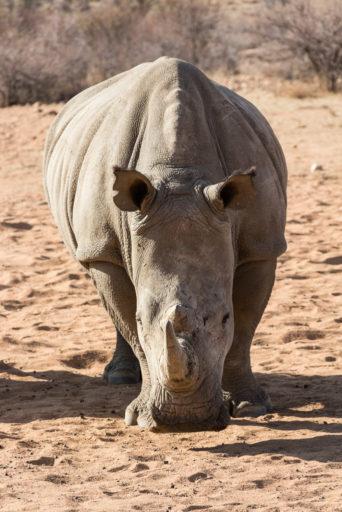 NA, animal, animals, breitmaulnashorn, gamsberg farm, khomas, namibia, nashorn, nashörner, rhino, rhinoceros, rhinos, tier, tiere, white rhino, white rhinoceros, world