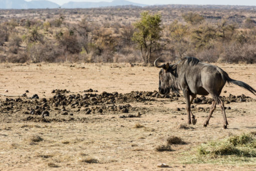 NA, animal, animals, antelope, antelopes, antilope, antilopen, gamsberg farm, gnu, gnus, khomas, namibia, tier, tiere, wildebeest, world