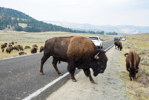 US, US-WY, USA, WY, american bison, american buffalo, animal, animals, bison, buffalo, lamar valley, ne entrance road, tier, tiere, united states, united states of america, vereinigte staaten, world, wyoming, yellowstone, yellowstone national park