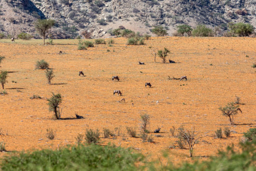 NA, animal, animals, antelope, antelopes, antilope, antilopen, c26, gemsbock, gemsbok, khomas, namibia, oryx, roads of namibia, rooisand, spießbock, straßen in namibia, tier, tiere, world