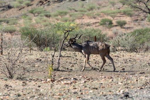 NA, animal, animals, antelope, antelopes, antilope, antilopen, greater kudu, großer kudu, khomas, kudu, namibia, rooisand, strepsiceros, tier, tiere, world