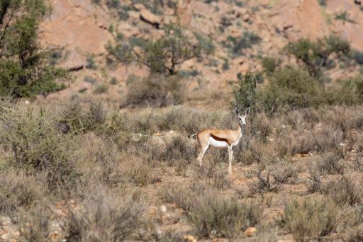 NA, animal, animals, antelope, antelopes, antilope, antilopen, gamsberg farm, khomas, namibia, springbock, tier, tiere, world