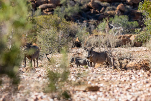 NA, animal, animals, gamsberg farm, khomas, namibia, tier, tiere, warthog, world