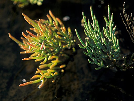 Hallig Gröde - Glasswort