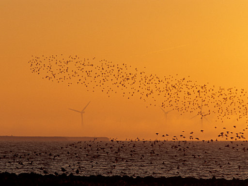 Hallig Gröde - Sunrise Birds