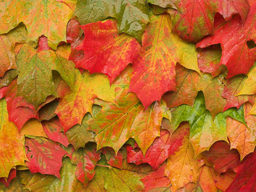 Autumn Intermezzo - Maple Leaves 1