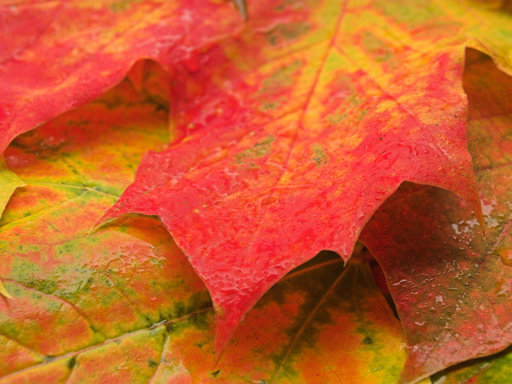Autumn Intermezzo - Maple Leaves 2